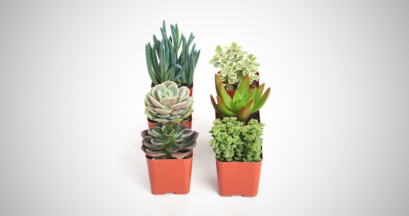 Indoor Succulent & Cacti Plants