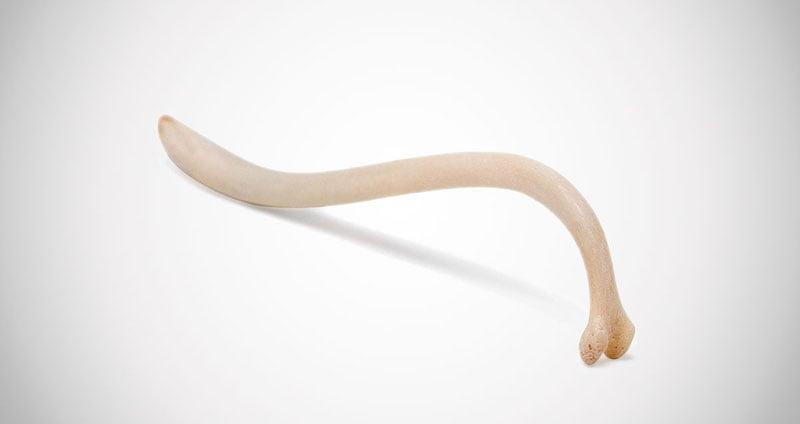 Raccoon Penile Bone