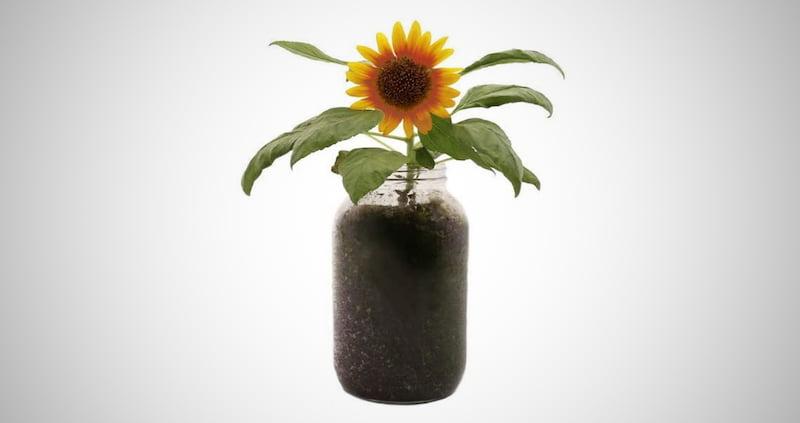 Organic Sunflower Windowsill Planter